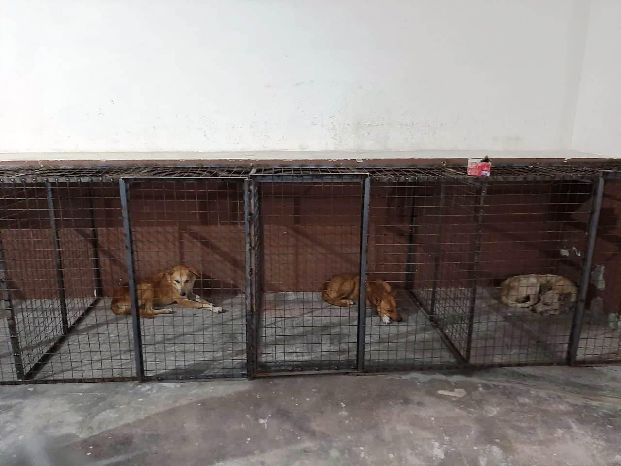 करनाल में आवारा कुत्तों की नसबंदी का काम शुरू, रोजाना 15 से 20 कुत्तों के हो रहे ऑपरेशन